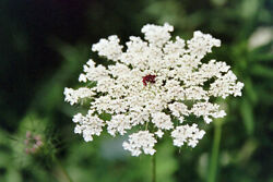 Queen Anneand039s Lace Seeds 500. Daucus Carota Wild Carrot.