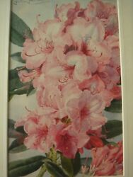 Louis Fairfax Muckley British Pink Rhododendrons Watercolour Signed