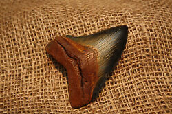 3.18 Large Megalodon Shark Tooth Fossil