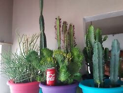 HUGE CACTUSSUCCULENTS EUPHORBIA AND AGAVE COLLECTION for sale!!!