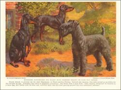 MANCHESTER & KERRY BLUE TERRIER DOGS by Edward Miner vintage print 1937