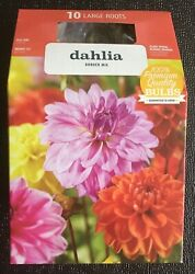 10 DAHLIA VARIETY BORDER MIX LARGE ROOTED BULBS GROWS TO 15quot; PREMIUM QUALITY