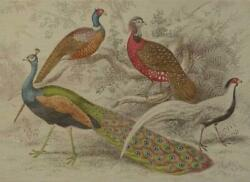 Wall Art Print 19th C Inspired By A Hand-colored Peacock Peacocks 65x47 47
