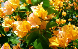 Well Rooted California Gold Live Bougainvillea Starter/plug Plant