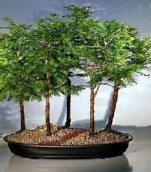 Dawn Redwood Bonsai Forest- 5 Tree Group Outdoor