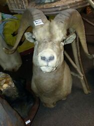 Gorgeous Stone Sheep Shoulder Mount Taxidermy New Holland Pa