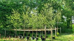 Silver Birch Trees 6-10ft - Local Collection Gloucester / Stroud