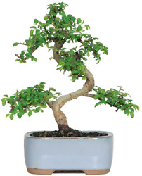 Live Chinese Elm Outdoor Bonsai Tree 5 Years Old 6 To 8 Tall With Container