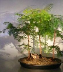 Redwood Bonsai Forest- 3 Tree Forest Group 5-8 Years Old 22 Tall