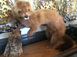 FIERCE Weasel Small Animal Taxidermy Mount Art Wildlife One of a kind Mounted
