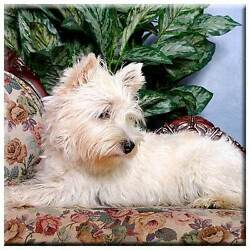 West Highland White Terrier 4