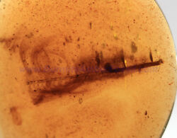 Burmite Amber Fossil - Sc5244 15mm Large Feather W/ Certificate