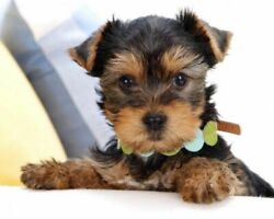 08807 Yorkshire Terrier DOG PUPPY PHOTO Wall Print POSTER CA