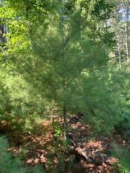 32-36 Eastern White Pine Evergreen Tree/transplant Thick Branches