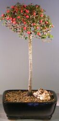 7 Years Old Evergreen Cotoneaster Outdoor Bonsai Tree - Flowering And Fruiting