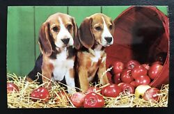 Chrome Postcard Beagle Puppies with spilled basket of apples
