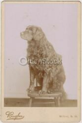 Majestic Furry Black Lab Dog Lovingly Obedient Pose Antique Cabinet Card Photo