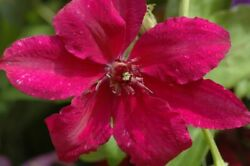 Clematis Ruutel - Live Plant In A 4 Inch Growers Pot - Starter Vine