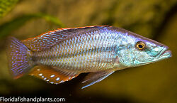 Dimidiochromis Compressiceps Malawi Eyebiter Cichlid 2in Free Overnight Shipping