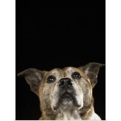 Poster Print Wall Art entitled This pit bull terrier and cattle dog mix is 12
