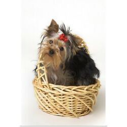 Poster Print Wall Art entitled Yorkshire Terrier Puppy