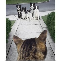 Poster Print Wall Art entitled Cat looking at a Jack Russell Terrier and Border