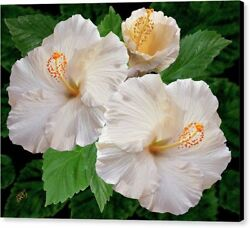 Dreamy Blooms, White Hibiscus, Large Hawaiian Tropical Canvas Wall Art
