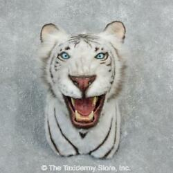18303 E+ | Reproduction White Bengal Tiger Shoulder Taxidermy Head Mount - Lion