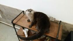 Otter Lifesize Mount Tanned Hide Fur Small Animals Taxidermy