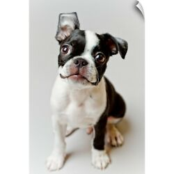 Wall Decal entitled Boston Terrier dog puppy.