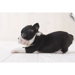 Wall Decal entitled Boston terrier lying down