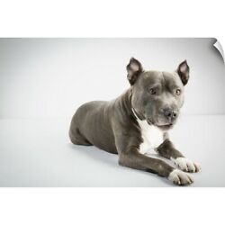 Wall Decal entitled Staffordshire Bull Terrier studio