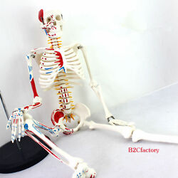 85cm Human Anatomical Anatomy Skeleton Medical Model Muscle +stand Fexible Sale