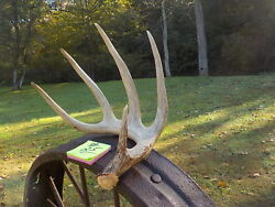 Monster 80 Plus Clean Giant 5 Pt Canadian Whitetail Deer Shed Antlers Rack 25