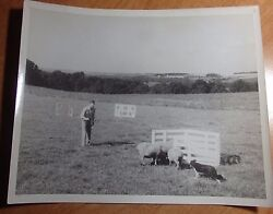 1950#x27;S ACTUAL 8 X 10 PHOTO OF CARL BRADFORD BORDER COLLIES PENNING SHEEP WOOSTER