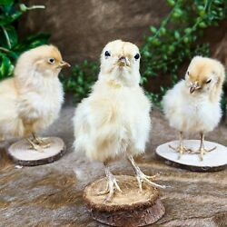 H33 ONE TAXIDERMY Domestic NAT Death BABY Chick Chicken Wood Base Adorable