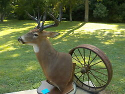 290 Lb Giant Chocolate Whitetail Deer Mount Ready For Antlers Taxidermy Shed 97