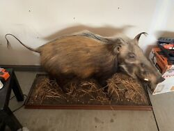Awesome Trophy African Bush Pig Fulll Body Mount Hunting Decor Taxidermy