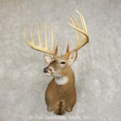 21655 P+   Kansas King Reproduction Taxidermy Shoulder Mount For Sale