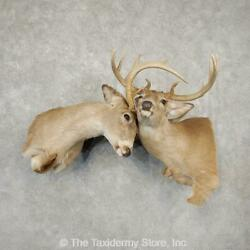 21089 P   Fighting Pair Whitetail Deer Shoulder Taxidermy Mount For Sale
