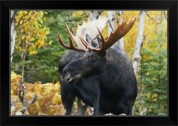 Bull Moose Standing In The Forest In Black Framed Wall Art Print Wildlife Home