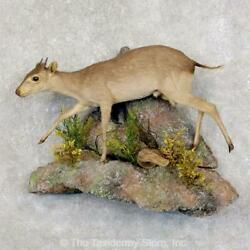 22582 P | Blue Duiker Life-size Taxidermy Mount For Sale