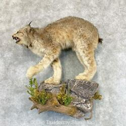 22370 E+ | Canadian Lynx Life-size Taxidermy Mount For Sale