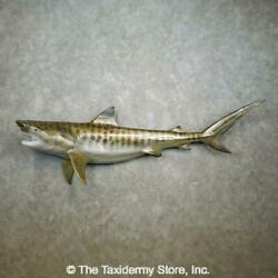 17759 Wc | 102 Tiger Shark Reproduction Taxidermy Mount For Sale