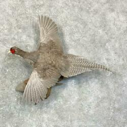 22915 P+   Abyssinian Pheasant Taxidermy Bird Mount For Sale