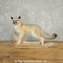 21112 E+| Swift Fox Life-size Taxidermy Mount For Sale