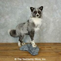 17831 Wc Platinum Fox Life-size Taxidermy Mount For Sale