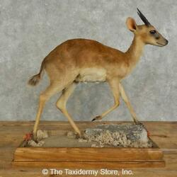 16944 P | Suni Antelope Life-size Taxidermy Mount For Sale
