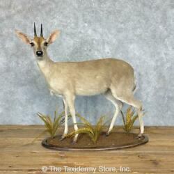 21756 Wc   Bush Duiker Life-size Taxidermy Mount For Sale