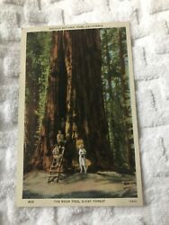 Unused Postcard The Tree Room Giant Forest Sequoia National Park California CA